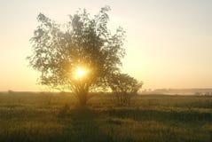 在一个草甸的一棵树在黎明 免版税库存图片