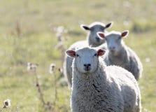 在一个草甸的三只绵羊连续温暖的晚上太阳的 库存图片