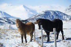 在一个草甸的两匹冰岛马在冬天 免版税图库摄影