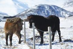 在一个草甸的两匹冰岛马在冬天 库存照片