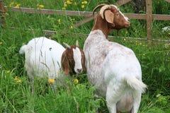 在一个草甸的两只山羊有木篱芭的 库存照片