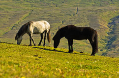 在一个草甸的冰岛马在阿克雷里海湾晴朗的夏日 库存图片