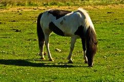 在一个草甸的冰岛马在阿克雷里附近晴朗的夏日 库存照片