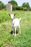 在一个草甸的小的山羊有绿草的 库存照片