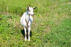 在一个草甸的小的山羊有绿草的 免版税库存照片