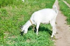 在一个草甸的小的山羊有绿草的 免版税库存图片