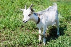 在一个草甸的小的山羊有绿草的 库存图片