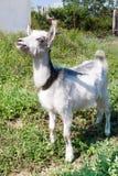 在一个草甸的小的山羊有绿草的 免版税图库摄影