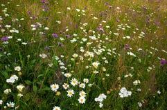 在一个草甸的开花的雏菊在夏天 领域开花绽放 免版税库存照片