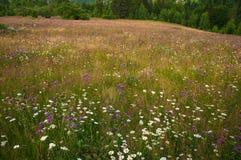 在一个草甸的开花的雏菊在夏天 领域开花绽放 免版税库存图片