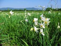 在一个草甸的惊人的白色野生黄水仙在山的背景中环境美化 库存图片