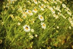 在一个草甸的春黄菊花在夏天 免版税图库摄影