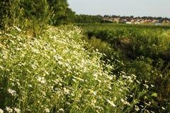 在一个草甸的春黄菊花在夏天 库存图片