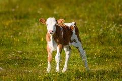 在一个草甸的母牛在阿尔卑斯奥地利 免版税图库摄影