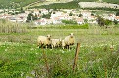 在一个草甸的羊在Kolan, Pag,克罗地亚海岛附近  免版税库存照片