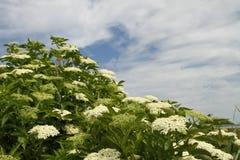 在一个草甸的花在丹麦 图库摄影