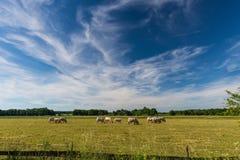 在一个草甸的长的白色云彩有吃草的公牛 免版税库存图片