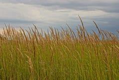 在一个草甸的高草反对天空 免版税库存图片