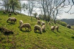 在一个草甸的绵羊在早期的春天01 库存图片