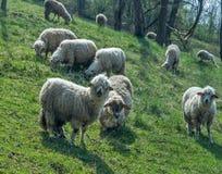 在一个草甸的绵羊在早期的春天03 免版税库存照片