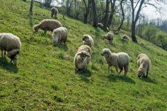 在一个草甸的绵羊在早期的春天04 图库摄影