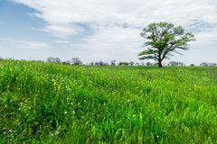 在一个草甸领域中间的偏僻的绿色树反对与白色云彩的蓝天背景 一些反弹严格晴朗那里不是的蓝色云彩日由于域重点充分的绿色横向小的移动工厂显示天空是麦子白色风 免版税库存图片