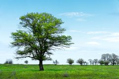 在一个草甸领域中间的偏僻的绿色树反对与白色云彩的蓝天背景 一些反弹严格晴朗那里不是的蓝色云彩日由于域重点充分的绿色横向小的移动工厂显示天空是麦子白色风 免版税图库摄影