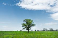 在一个草甸领域中间的偏僻的绿色树反对与白色云彩的蓝天背景 一些反弹严格晴朗那里不是的蓝色云彩日由于域重点充分的绿色横向小的移动工厂显示天空是麦子白色风 免版税库存照片