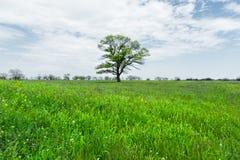 在一个草甸领域中间的偏僻的绿色树反对与白色云彩的蓝天背景 一些反弹严格晴朗那里不是的蓝色云彩日由于域重点充分的绿色横向小的移动工厂显示天空是麦子白色风 图库摄影