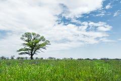 在一个草甸领域中间的偏僻的绿色树反对与白色云彩的蓝天背景 一些反弹严格晴朗那里不是的蓝色云彩日由于域重点充分的绿色横向小的移动工厂显示天空是麦子白色风 库存图片