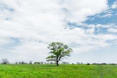 在一个草甸领域中间的偏僻的绿色树反对与白色云彩的蓝天背景 一些反弹严格晴朗那里不是的蓝色云彩日由于域重点充分的绿色横向小的移动工厂显示天空是麦子白色风 库存照片