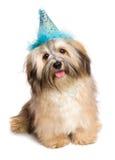 在一个蓝色党帽子的愉快的Bichon Havanese小狗 免版税库存照片