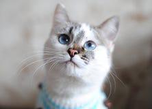 在一个蓝色毛线衣特写镜头的蓝眼睛的白色猫 鼻子在焦点 库存照片