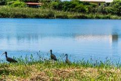 在一个蓝色盐水湖的黑鸟 免版税库存图片