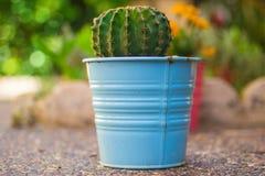 在一个蓝色罐的仙人掌 库存图片