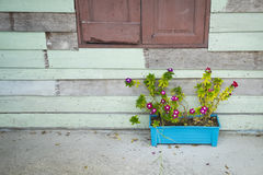 在一个蓝色罐的桃红色花在木墙壁附近 图库摄影