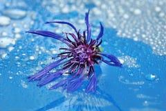 在一个蓝色背景特写镜头的开花的矢车菊 水下落 免版税图库摄影