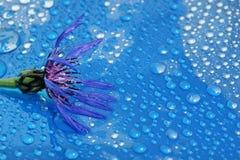 在一个蓝色背景特写镜头的开花的矢车菊 水下落 免版税库存图片