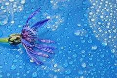 在一个蓝色背景特写镜头的开花的矢车菊 水下落 库存照片