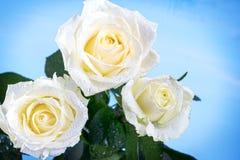 在一个蓝色背景的玫瑰 免版税图库摄影