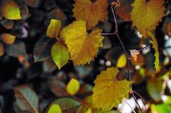在一个藤的秋天心形的接合的叶子在选择聚焦 库存图片