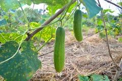 在一个藤的绿色黄瓜在庭院里 库存图片