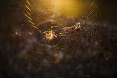 在一个蜘蛛网的一只蜘蛛在黎明在森林里 免版税库存图片