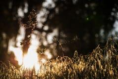 在一个蜘蛛网的一只蜘蛛在黎明在森林里 库存照片