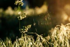 在一个蜘蛛网的一只蜘蛛在黎明在森林里 免版税库存照片