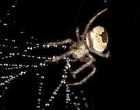 在一个蜘蛛网的水滴与在黑背景的一只蜘蛛 免版税库存照片