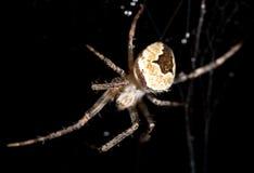 在一个蜘蛛网的水滴与在黑背景的一只蜘蛛 免版税库存图片