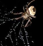 在一个蜘蛛网的水滴与在黑背景的一只蜘蛛 库存照片