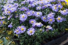 在一个街市上的新鲜的四季不断的花在秋天10月 免版税库存图片