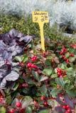 在一个街市上的新鲜的四季不断的花在秋天10月 免版税库存照片